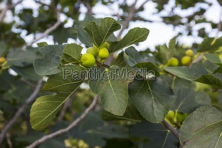 italy liguria cinque terre fig tree