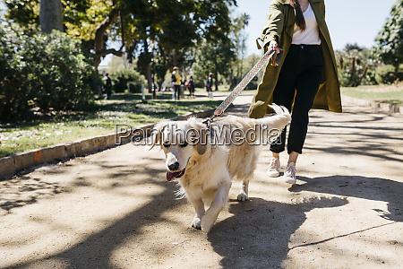 portrait of labrador retriever going walkies