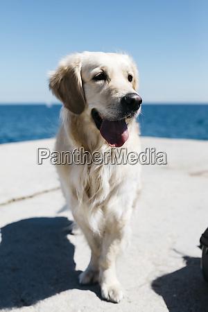 portrait of labrador retriever in front