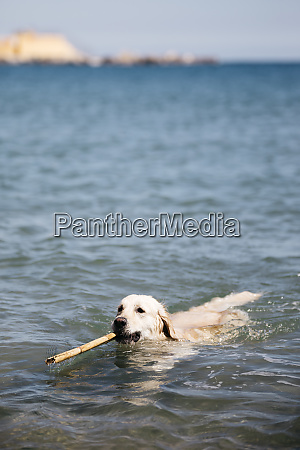 labrador retriever playing with stick in