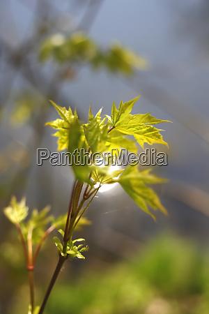 maple leaves on twig