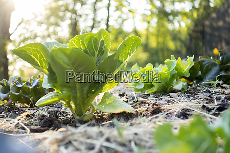 organic gardening salad on mulched bed
