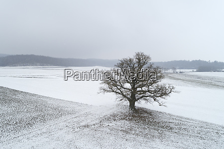 germany bavaria single old oak tree
