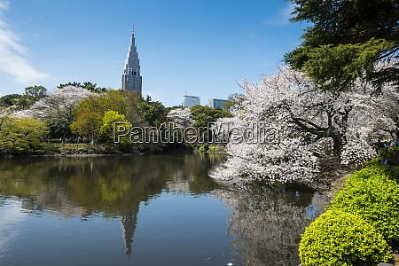 japan tokyo cherry blossom at shinjuku