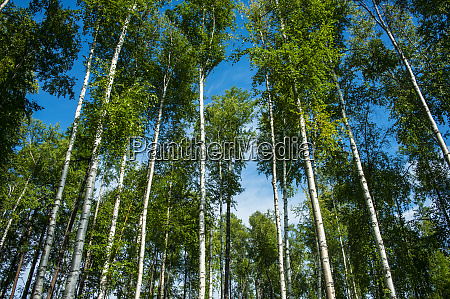 birch tree forest near tolbachik volcano