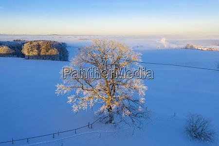 germany bavaria degerndorf oak in winter