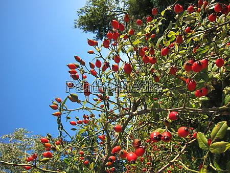 fruit of rosebush