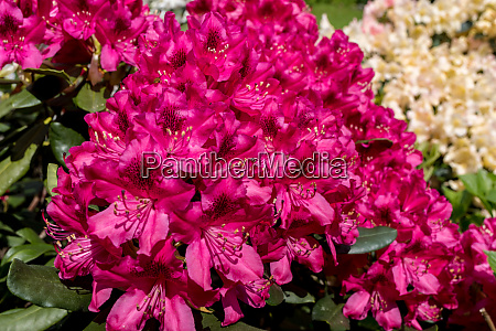 blooming red flowers of rhodenrona a