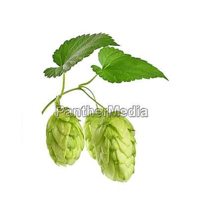 close up fresh green hops isolated
