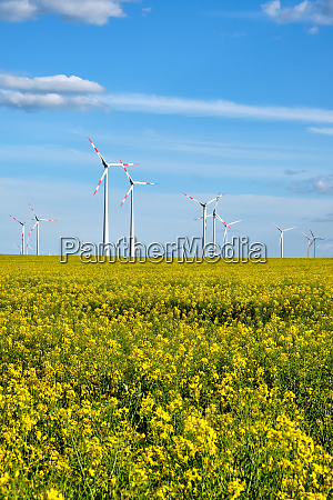 wind turbines in a flowering canola