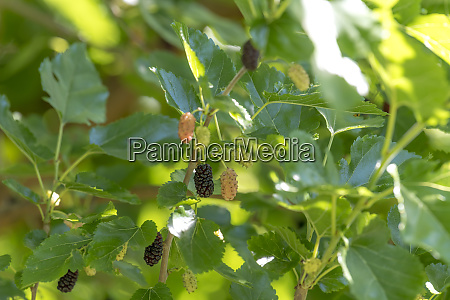 mulberries in different maturity levels hang