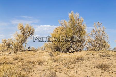 haloxylon saxaul trees and bushes