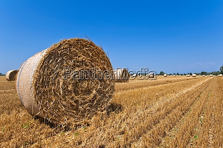wheat field after harvest with straw