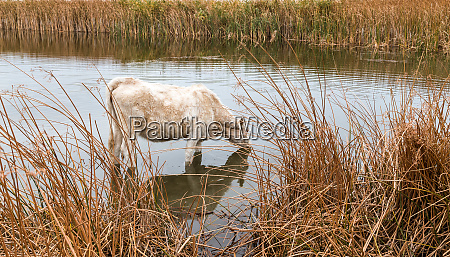 thirsty cow drinking at a pond