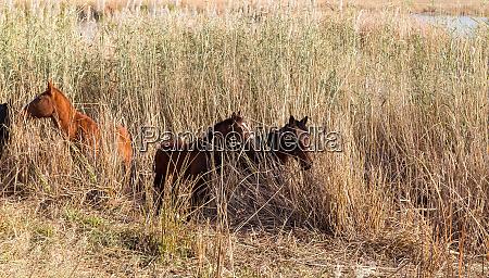 wild horses hide in the reeds