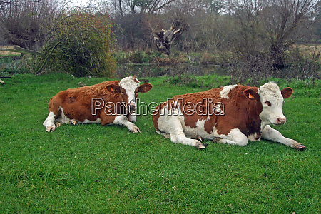 cattle lying down