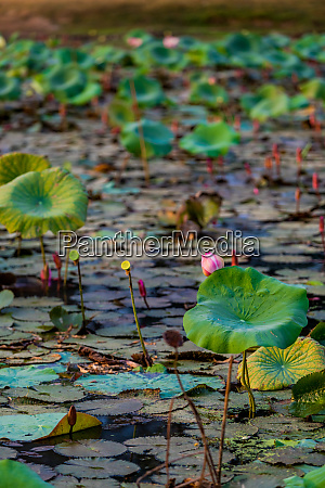lily pads floating in the mekong