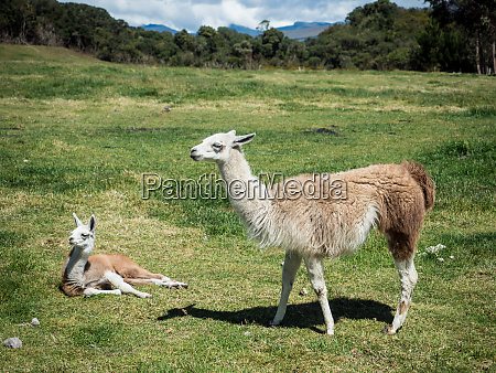 llamas cotopaxi region andes mountains ecuador