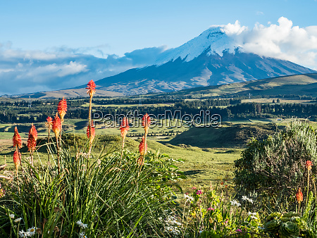 cotopaxi volcano with orange torch lilies