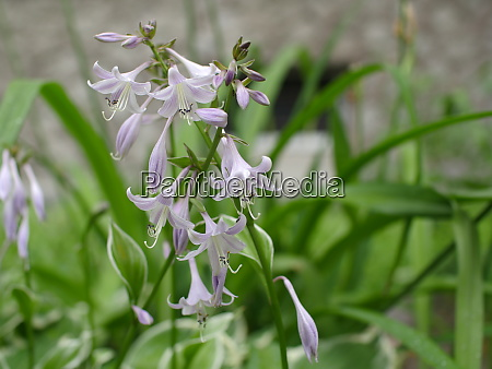 flowers fragrant plantain lily
