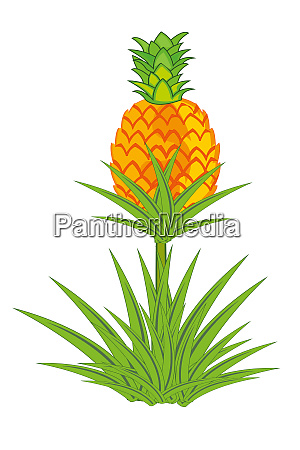 pineapple plant with roots isolated on