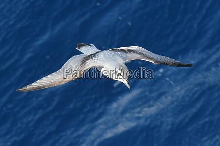 antarctic prion pachyptila desolata in flight