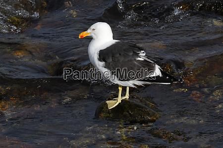 kelp gull larus dominicanus standing on