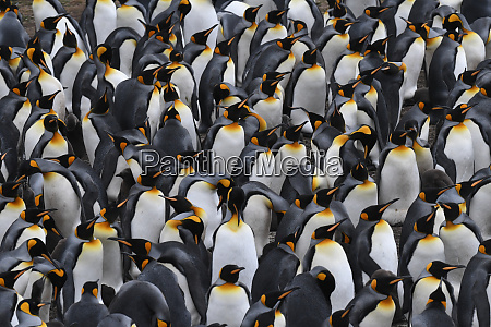 densely packed king penguin aptenodytes patagonicus