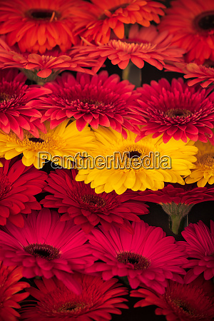 a bunch of barbeton daisy of