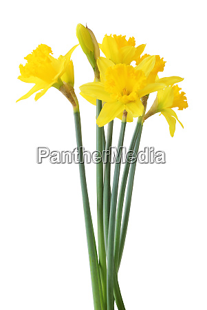narcissus narcissus isolated on white background