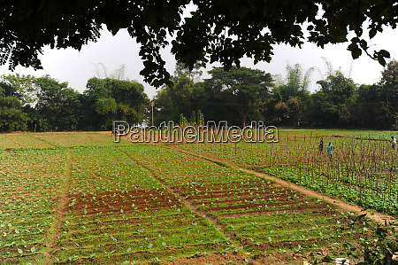 villagers maintaining neat vegetable fields using