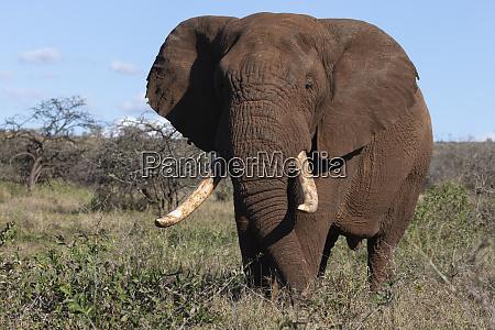 african elephant bull loxodonta africana