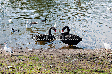 two blackswans in pond