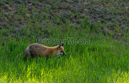 red fox in the hunt