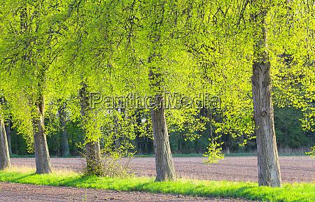 wonderful light flooded tree row in