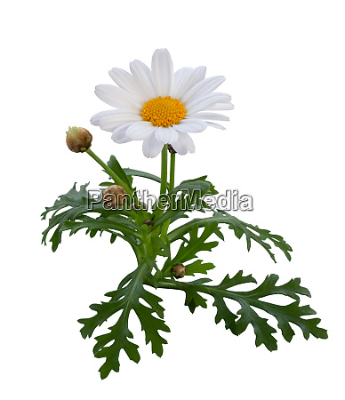 beautiful white daisy with buds and