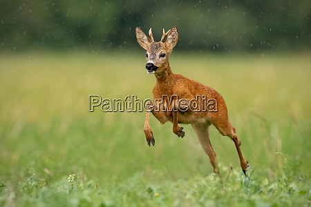 roe deer buck running fast across
