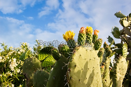 yellow prickly pear cacti blossoms