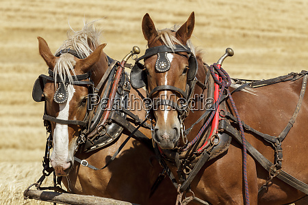 pair of draft horses ready for