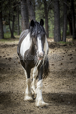 draft horse in a field