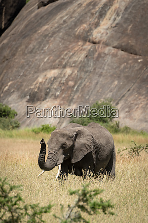 african elephant lifts trunk by sunlit