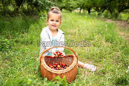 girl putting picked cherries into the