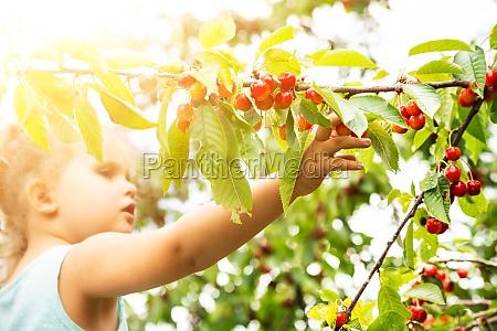 cute girl picking cherries