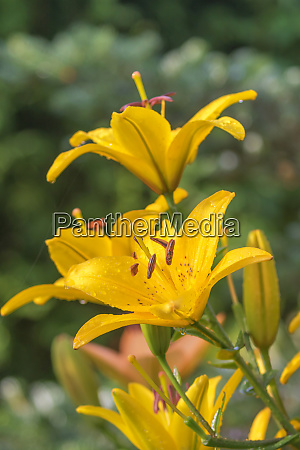 yellow lily flowers on green background
