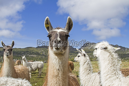 lamas in norway