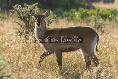 backlit female waterbuck crosses grass in