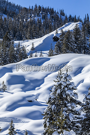 pine trees in snow on mountain