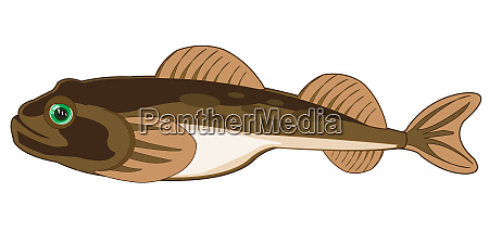 fish goby on white background is