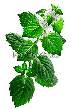 peppermint m piperita plant isolated