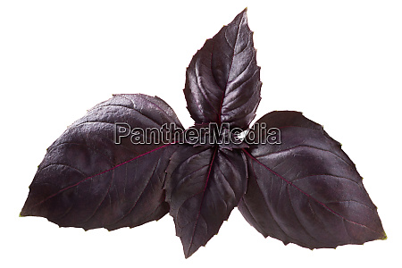 purple basil o basilicum paths